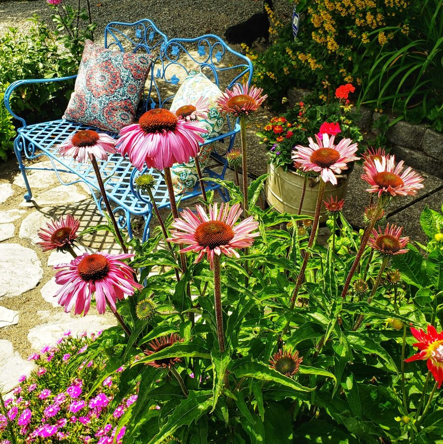 Coneflowers in a cottage garden