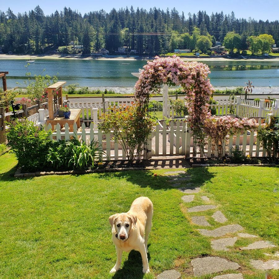 My white picket fence with a clematis filled arbor and my yellow lab, Charlie