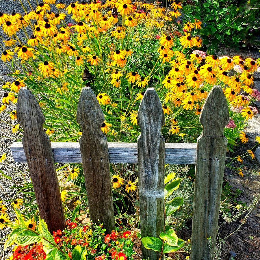 Black-eyed Susan's behind a rustic picket fence.