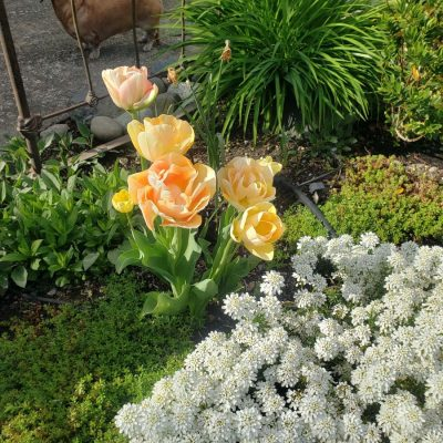 When to Cut Back Spring Bulb Flowers and Leaves