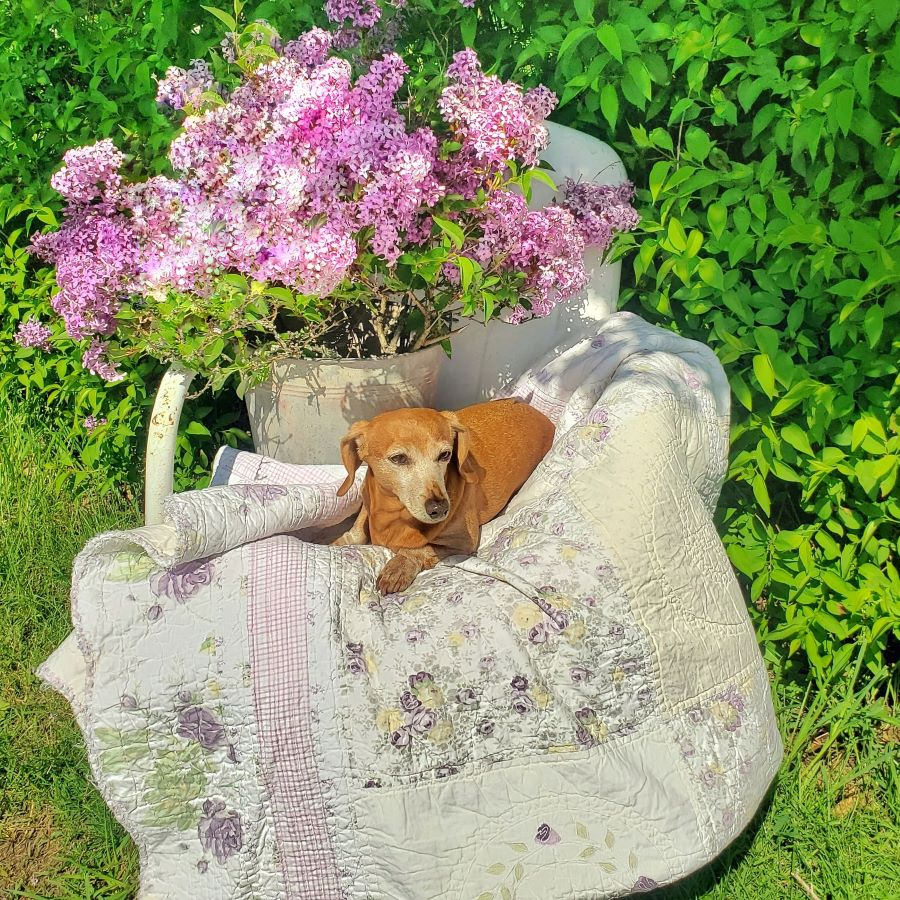 A bucket full of lilacs and dog sitting on a vintage chair and quilt
