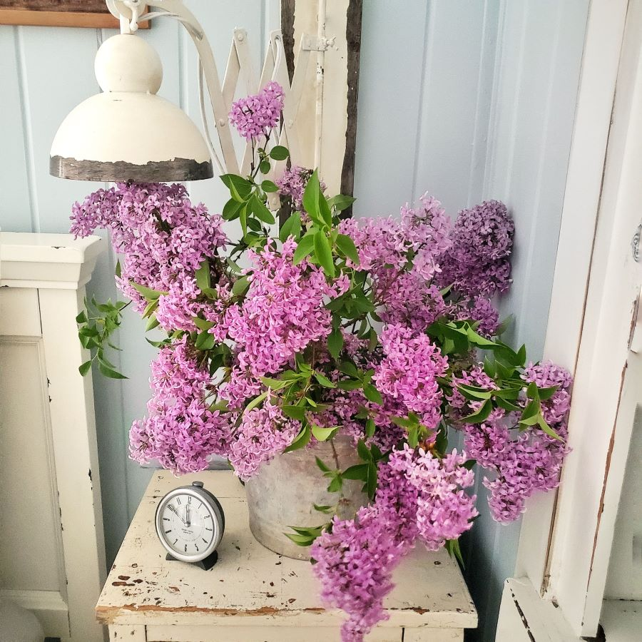 Bucket full of lilacs sitting on a chippy nightstand.