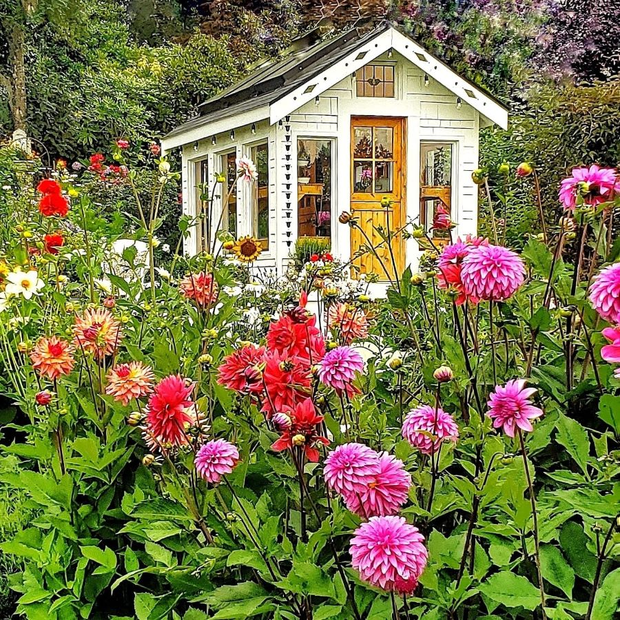 Cottage garden greenhouse in the summer, with dahlias growing.