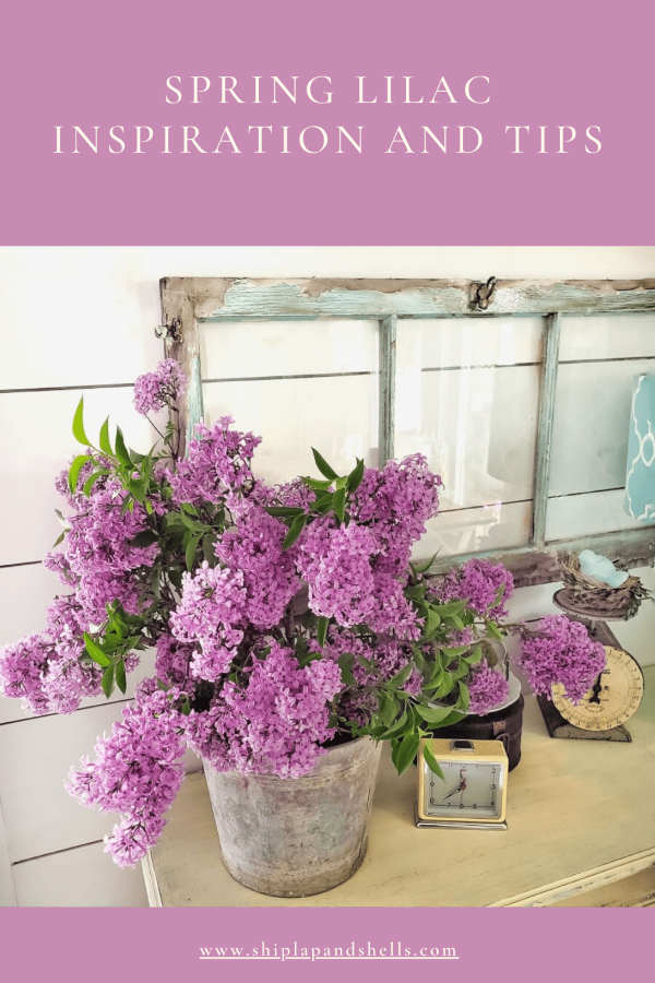 Bucket full of lilacs with chippy turquoise vintage window.