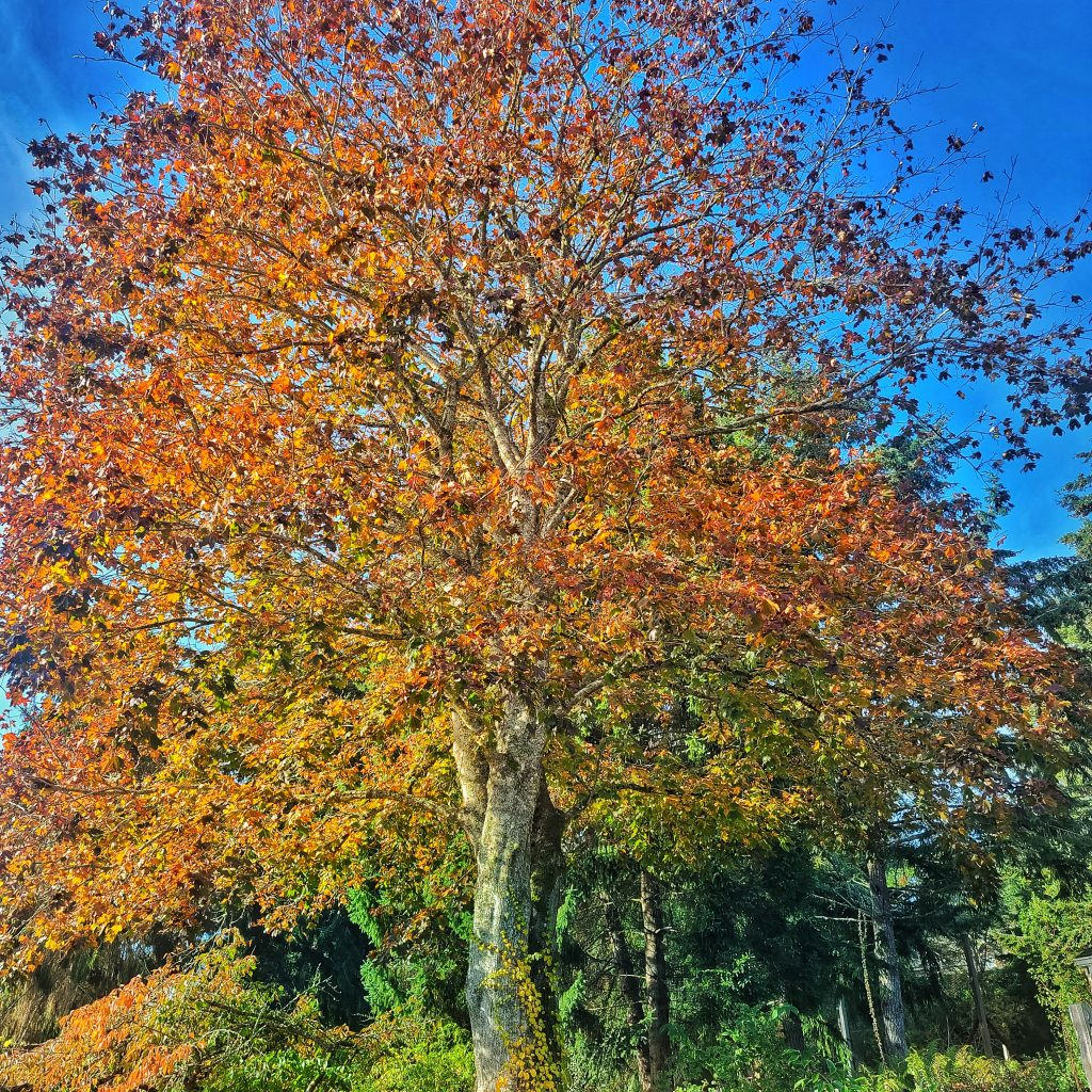 autumn colored tree