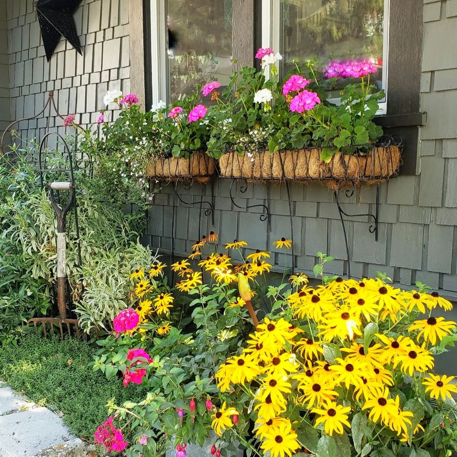 geraniums in window boxes and black-eyed Susans