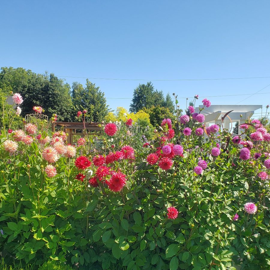 A variety of dahlias in a cottage garden