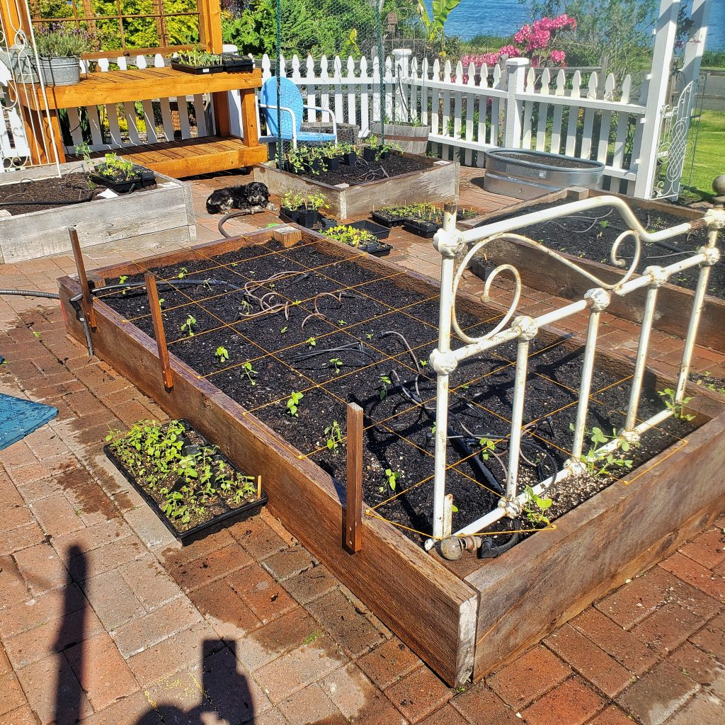 seed starts transplanted in raised garden bed